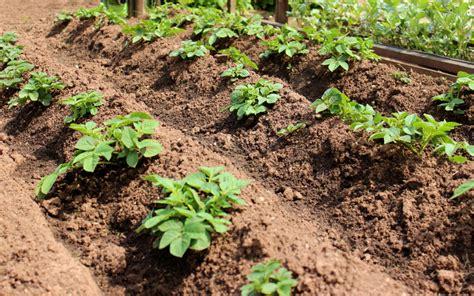 kartoffeln im garten kartoffel aussaat 187 die n 246 tigen vorbereitungen