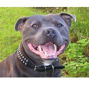 Staffordshire Bull Terrier Dog Face Photo And Wallpaper Beautiful