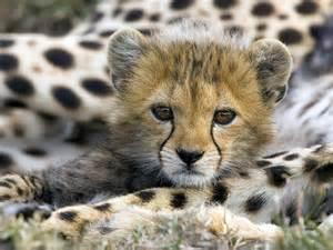 Baby animals baby cheetah pictures cheetah cub photos