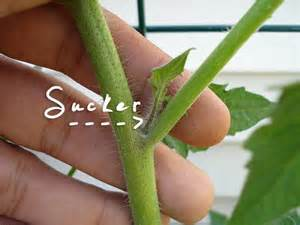 should you prune your tomato plants treehugger