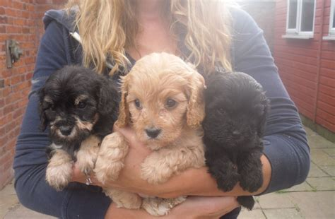 puppies for cavapoo puppies for sale chester cheshire pets4homes