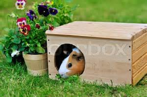 guinea pig wooden house garden stock photo colourbox
