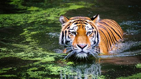 tiger  zoo wallpapers hd wallpapers id