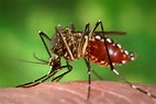 Image result for aedes aegypti mosquito