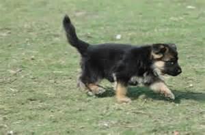 German shepherd dog alsatian price in india german shepherd dog