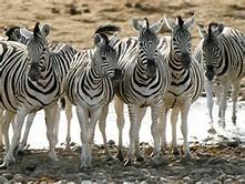 Group Animals Zebra