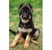 Sitting German Shepherd Puppy Photo And Wallpaper Beautiful