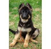 Add Photos Sitting German Shepherd Puppy In Your Blog