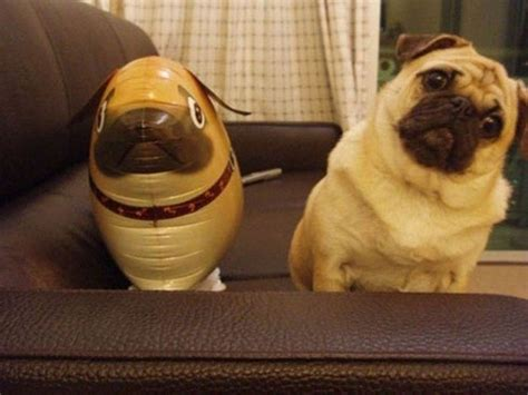confused pug confused pug with look alike up doll may the photo huffpost