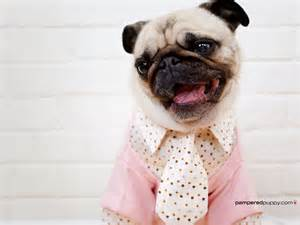 <strong>Pug</strong>-dogs-13518500-1600-1200.jpg