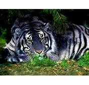 Tiger Eye Siberian Pictures Artwork Tattoos Wallpapers Of