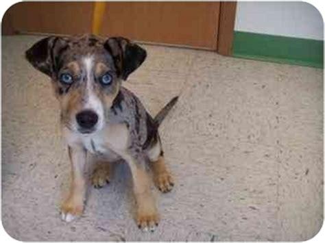puppies for adoption spokane wa pitbull puppies for sale in spokane washington