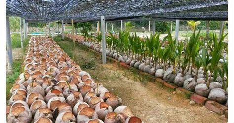 Benih Rambutan Gula Batu cita tani nursery ns0154959 benih kelapa matag united
