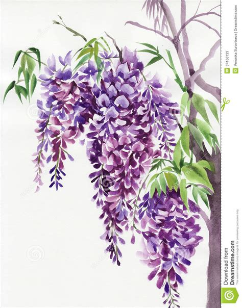 wisteria branches stock illustration image of acacia