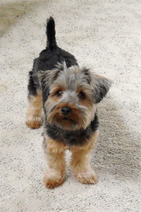 different cuts for silky terriors 1000 images about silky terriers on pinterest puppys