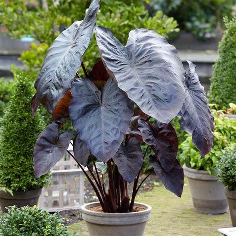 best 25 elephant ear plant ideas on pinterest elephant