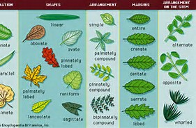 Angiosperm Leaf Arrangement