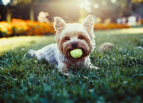 do yorkies cause allergies 10 hypoallergenic breeds that don t shed purewow