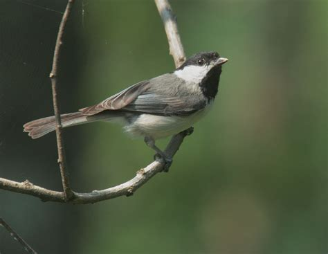 carolina chickadee song