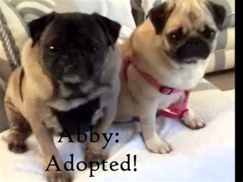 pug rescue of new available pugs adopt me pug rescue of new prone pugs available for adoption as of 3 24 12