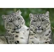 Animals Best Pictures Gallery Snow Leopard Wallpaper