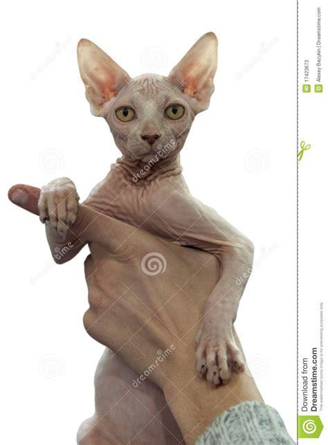 Sphynx Cat Stock Photos   Image: 17423673