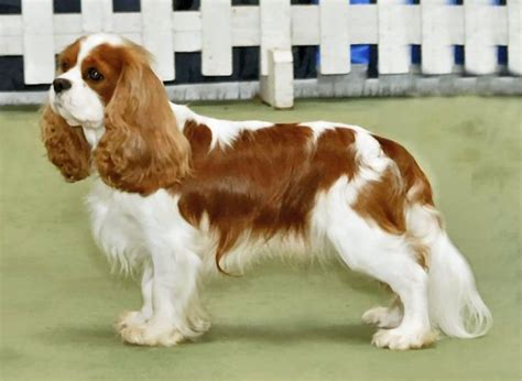 About: Cavalier King Charles Spaniel