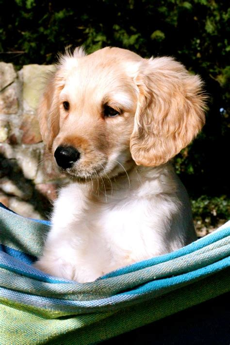 golden retriever puppies for sale bristol beautiful golden retriever puppies for sale bristol bristol pets4homes