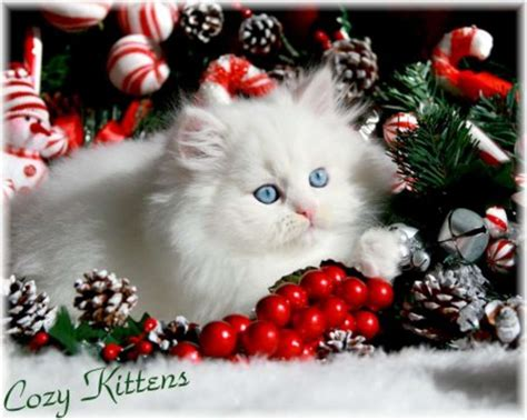 cute christmas kitten wallpapers  christian wallpapers