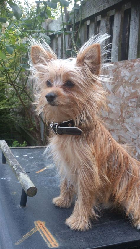 yorkie puppy information terrier information and potty design bild