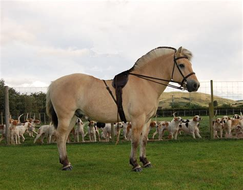 fjord horse for sale uk fjord horses for sale reading berkshire pets4homes