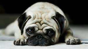 beautiful-<strong>pug</strong>-dog-hd-wallpapers-top-desktop-background-hd-widescreen-wallpapers-of-<strong>pug</strong>-dog-free-download.jpg