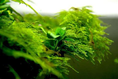 Java Moss Aquascape by Anubias And Java Moss Aquascaping
