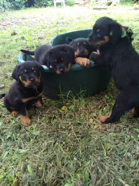 rottweiler puppies uk rottweiler puppies southton hshire pets4homes