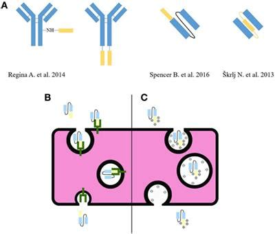 frontiers antibody targeting of steady frontiers targeting malignant brain tumors with