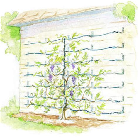 training wisteria vines to wall supporting wisteria vines sunset