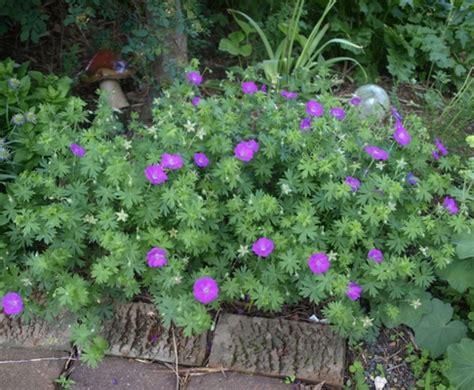 Cut Foliage Plants - geranium sanguineum