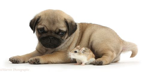 puppies and pug puppy and roborovski hamster photo wp41981