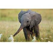 Baby Elephant Wallpapers Pictures Photos Images