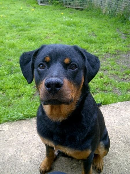 7 month rottweiler floyd 7 month rottweiler for adoption