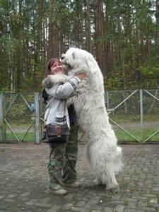 Caucasian mountain dog aka russian bear dog the males reach over