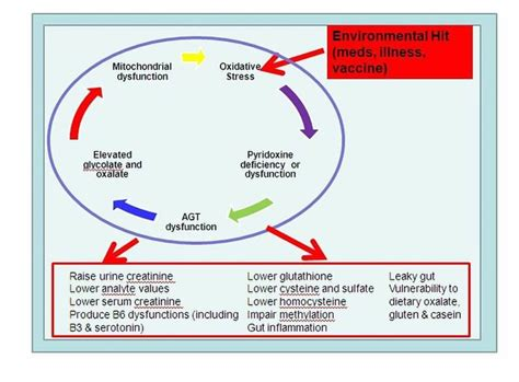 Liver Detox And Methylation by Methylation Cycle Detox Pathways Pictures