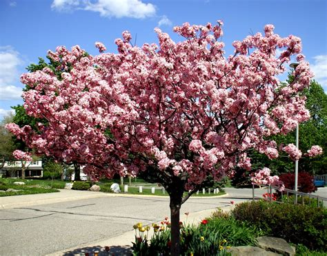 crabapple archives affordable trees