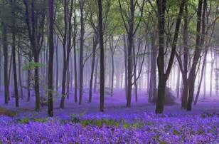 bluebell forest enchanted forests carpeted in beautiful bluebells