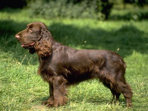 spaniel breeds cocker spaniel my rocks