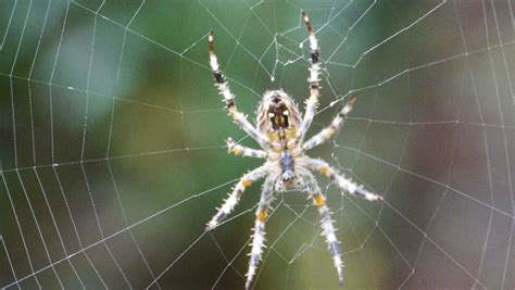 Garden Spider Building A Web Spider Web Construction In Motion Michael Bukay