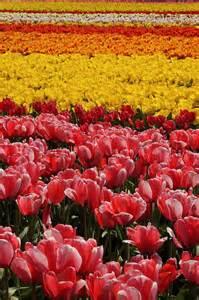 17 mejores im 225 genes sobre tulipanes en pinterest mesas tulipanes amarillos y washington
