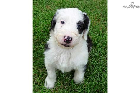 dogs for sale denver sheepdog rescue of colorado breeds picture
