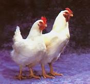 gambar ayam lucu :