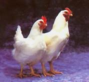 gambar ayam | XTRA TWO